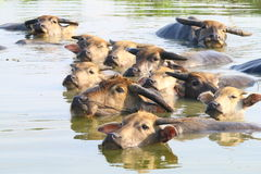 Индийские буйволы заплывания Стоковое Изображение