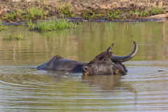 Индийские буйволы Стоковое фото RF