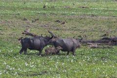 Индийские буйволы Стоковое Изображение