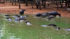 Индийские буйволы стоковые изображения