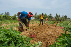 Индийские крестьяне жмут сладкие картофели Индия, Karnataka, Gokarna, весна 2017 Стоковое Изображение