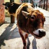 Индийские священные коровы Стоковое Изображение RF