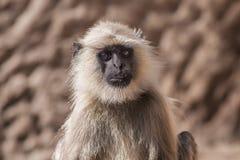 Индийские серые langurs или langurs Hanuman Monkey (Semnopithecus ent Стоковое Изображение RF