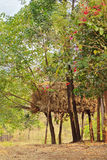 Индийские скотины поднимая стог сена на ходулях Стоковые Фото