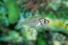 Индийские стеклянные рыбы аквариума окуня Стоковая Фотография