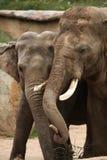 Индийские слоны (indicus maximus Elephas) Стоковые Изображения