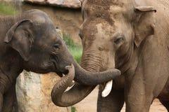 Индийские слоны (indicus maximus Elephas) Стоковое Фото
