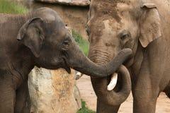 Индийские слоны (indicus maximus Elephas) Стоковые Фотографии RF