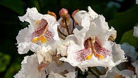 Индийские цветки дерева фасоли Стоковые Фото