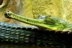 Индийские gavials Стоковое Фото