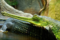 Индийские gavials 2 Стоковое фото RF