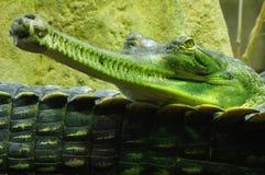 Индийские gavials 3 Стоковая Фотография RF