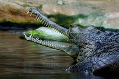 Индийские gavials 4 Стоковые Изображения