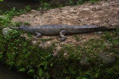 Индийский аллигатор отдыхая на земле Стоковая Фотография RF