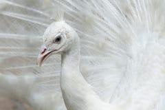 Индийский белый павлин стоковое фото rf