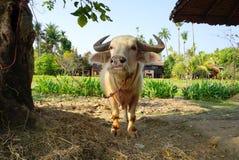 Индийский буйвол альбиноса Стоковые Изображения