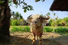 Индийский буйвол альбиноса Стоковая Фотография RF