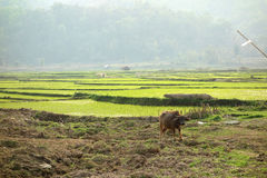 Индийский буйвол в поле риса стоковые фото