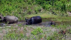 Индийский буйвол, Камбоджа стоковые изображения