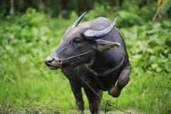 Индийский буйвол Стоковые Фото