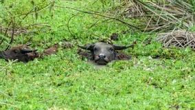 Индийский буйвол. Стоковое Фото