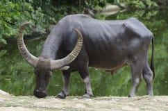 Индийский буйвол Стоковое Фото