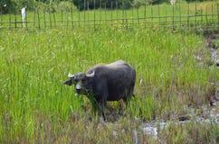 Индийский буйвол Стоковая Фотография