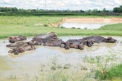 Индийский буйвол Стоковая Фотография RF