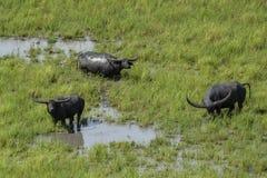 Индийский буйвол Стоковые Изображения RF