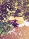 Индийский буйвол Стоковое Изображение RF