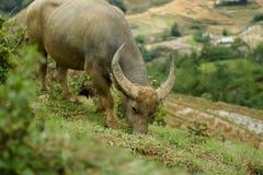 Индийский буйвол & x28; Bubalis& x29 буйвола; обозревая террасные поля Стоковая Фотография