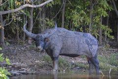 Индийский буйвол NT Стоковая Фотография RF