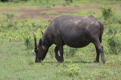 Индийский буйвол rised выгоном азиатский Стоковые Фото