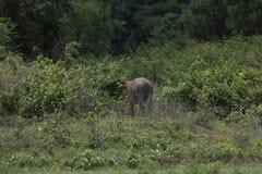 Индийский буйвол rised выгоном азиатский Стоковое Фото
