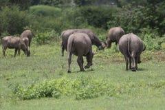 Индийский буйвол rised выгоном азиатский Стоковые Изображения