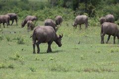 Индийский буйвол rised выгоном азиатский Стоковое фото RF