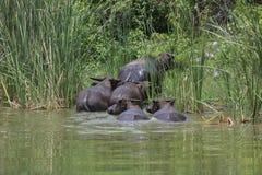 Индийский буйвол rised выгоном азиатский Стоковое Изображение RF