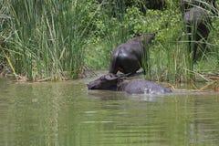 Индийский буйвол rised выгоном азиатский Стоковые Изображения RF