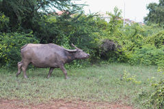 Индийский буйвол rised выгоном азиатский Стоковые Фотографии RF