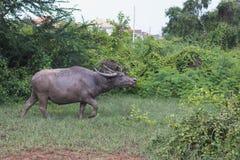 Индийский буйвол rised выгоном азиатский Стоковое Изображение
