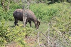 Индийский буйвол rised выгоном азиатский Стоковая Фотография