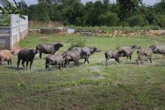 Индийский буйвол rised выгоном азиатский Стоковая Фотография RF