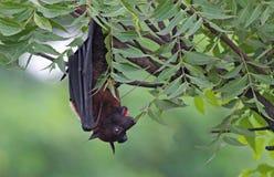 Индийский висеть летучей мыши лисы летания вверх ногами стоковое фото rf