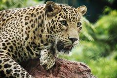 Индийский леопард стоковая фотография rf