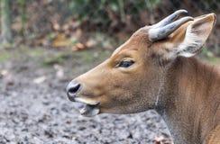 Индийский крупный план головы быка в поле Стоковая Фотография RF