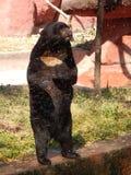 Индийский медведь Стоковое Фото