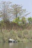 Индийский носорог в Bardia, Непале Стоковые Изображения RF