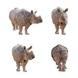 Индийский носорог изолированный на белой предпосылке Стоковые Изображения