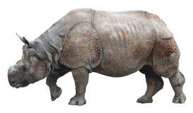 Индийский носорог или большой одн-horned носорог на белой предпосылке Стоковые Фотографии RF