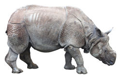 Индийский носорог или большой одн-horned носорог на белой предпосылке Стоковые Изображения RF